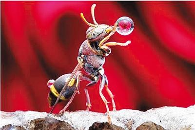 """胡蜂""""吹泡泡"""" 只为蜂巢不潮湿变垮"""