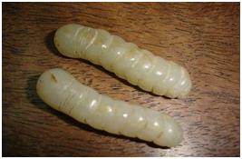 梅雨季家蚕为什么容易感染僵病?