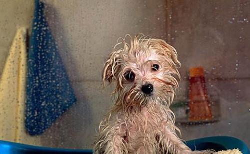 梅雨季如何预防狗狗皮肤病?